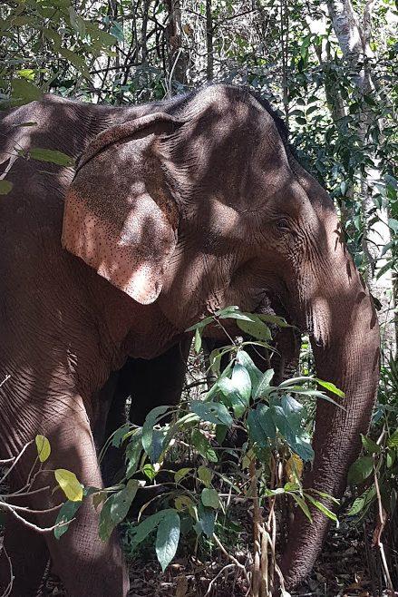 Elefant Cambodja Asien Elephant Valley Project Dyrevelfærd Backpacking Rejseblog